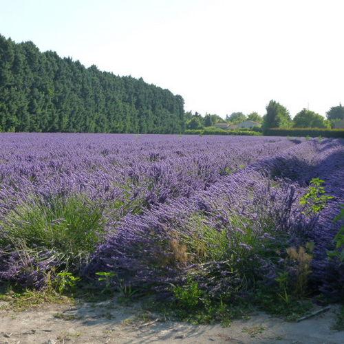 Magnifique champs de lavandes