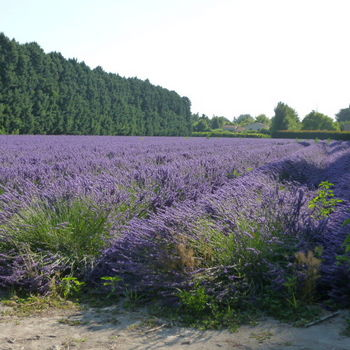 lavender fields in blossom